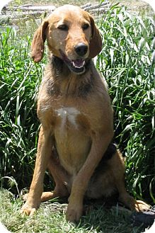 Airedale Terrier/Black and Tan Coonhound Mix Dog for adoption in Cardwell, Montana - Angel