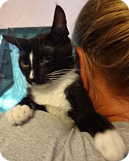 Domestic Shorthair Kitten for adoption in Jefferson, Texas - Alley