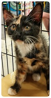 Domestic Shorthair Kitten for adoption in Alexis, North Carolina - Maple