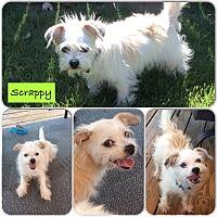 Adopt A Pet :: Scrappy - San Antonio, TX