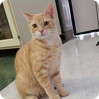 Domestic Shorthair Kitten for adoption in Gilbert, Arizona - Dany's Boy