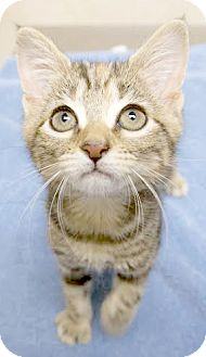 Domestic Shorthair Kitten for adoption in Montclair, New Jersey - Lois
