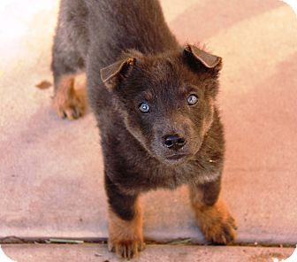 Rottweiler/Australian Shepherd Mix Puppy for adoption in Phoenix, Arizona - Bear