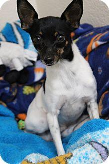 Toy Fox Terrier Dog for adoption in Crowley Lake, California - Wyatt
