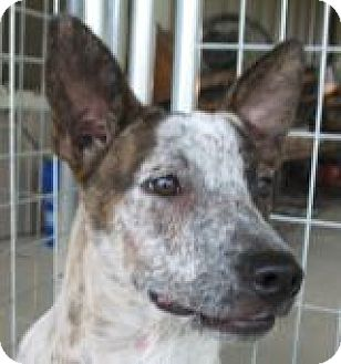 Australian Cattle Dog Mix Dog for adoption in Grand Saline, Texas - Misty