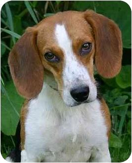 Beagle Mix Dog for adoption in Ladysmith, Wisconsin - Murry