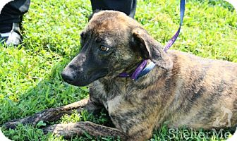 Mountain Cur/Shepherd (Unknown Type) Mix Dog for adoption in Goodlettsville, Tennessee - Slyder