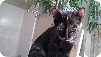 Domestic Shorthair Kitten for adoption in Scottsdale, Arizona - Sydney