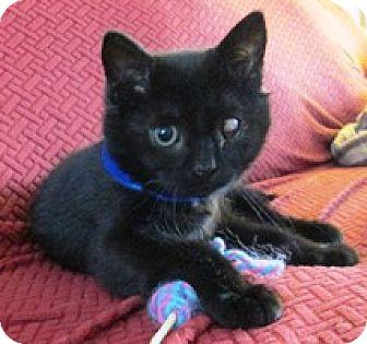 Domestic Shorthair Kitten for adoption in Lebanon, Pennsylvania - Cooper