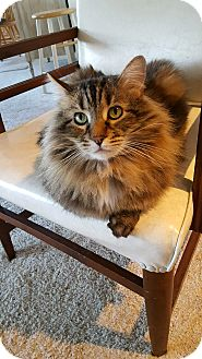 Maine Coon Cat for adoption in Laguna Woods, California - Bachelor