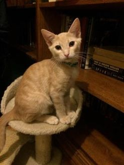 Colorpoint Shorthair/Domestic Shorthair Mix Cat for adoption in Long Beach, California - Hector