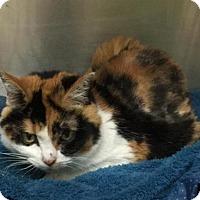 Adopt A Pet :: ABBY ROAD - Methuen, MA