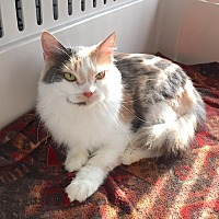 Adopt A Pet :: ShyGirl - Lakewood, CO