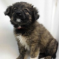 Adopt A Pet :: Andi - Westminster, CO