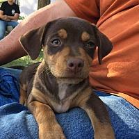 Adopt A Pet :: Piper - Danbury, CT