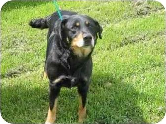 Hound (Unknown Type)/Retriever (Unknown Type) Mix Dog for adoption in Northville, Michigan - Tillie