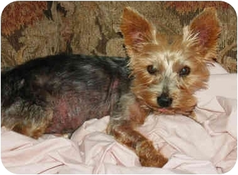 yorkie for adoption in nc pj adopted dog charlotte nc yorkie yorkshire terrier 6262
