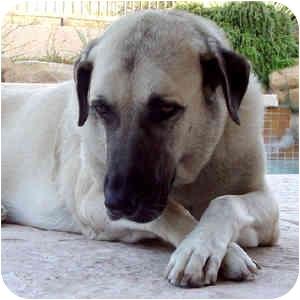 Anatolian Shepherd Dog for adoption in Phoenix, Arizona - Merlin