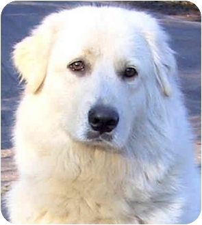 Great Pyrenees Mix Dog for adoption in Wakefield, Rhode Island - ANGEL