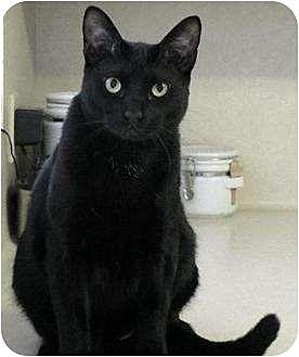 Bombay Cat for adoption in Alvin, Texas - Robbie
