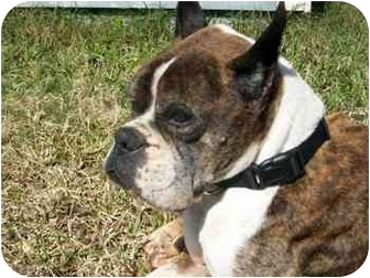 Boxer Dog for adoption in Tallahassee, Florida - Walter