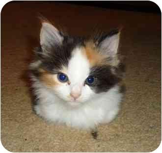 Domestic Longhair Kitten for adoption in Troy, Ohio - Newport Dark Calico