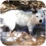 Terrier (Unknown Type, Medium) Mix Dog for adoption in Gilbert, Arizona - SUZY Q