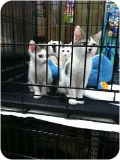 Domestic Shorthair Kitten for adoption in Clay, New York - KITTENS