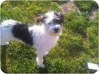Maltese/Poodle (Miniature) Mix Dog for adoption in Tustin, California - Wally