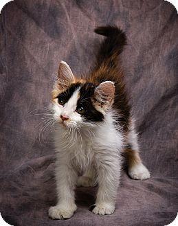 Calico Kitten for adoption in Anna, Illinois - ANNA