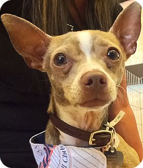 Chihuahua Mix Dog for adoption in San Diego, California - Robert Redford