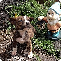 Adopt A Pet :: Puppies - Honolulu, HI