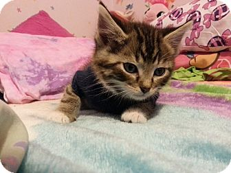 Domestic Shorthair Kitten for adoption in South Haven, Michigan - Scar