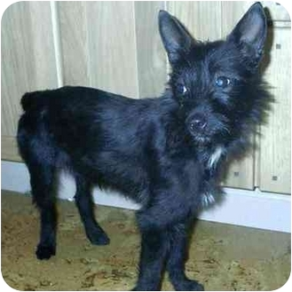 Terrier (Unknown Type, Small) Mix Dog for adoption in Wauseon, Ohio - Belle