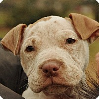 Adopt A Pet :: Maggie Moo - Reisterstown, MD