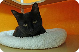 Domestic Shorthair Cat for adoption in Elyria, Ohio - Raven