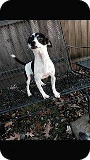 Fox Terrier (Smooth)/Chihuahua Mix Dog for adoption in Va Beach, Virginia - Rascal