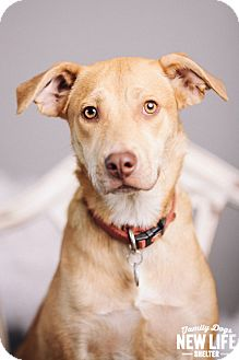 Australian Shepherd/Labrador Retriever Mix Dog for adoption in Portland, Oregon - Cheyenne
