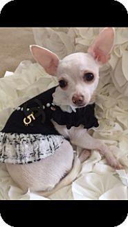 Chihuahua Dog for adoption in Lynnwood, Washington - Chanel