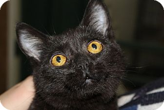 Domestic Shorthair Kitten for adoption in Grinnell, Iowa - Black Pearl