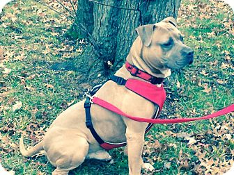 American Staffordshire Terrier Mix Dog for adoption in Bridgewater, New Jersey - Barney