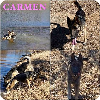 German Shepherd Dog Mix Dog for adoption in Fort Worth, Texas - Carmen