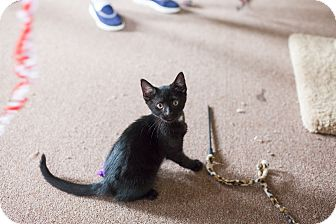 Domestic Shorthair Kitten for adoption in Statesville, North Carolina - Raven