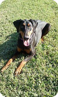 Doberman Pinscher Dog for adoption in Fort Worth, Texas - Athena