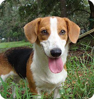 Beagle/Basset Hound Mix Dog for adoption in DeLand, Florida - RUBY