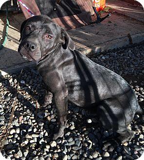 Labrador Retriever/Pit Bull Terrier Mix Puppy for adoption in Santa Ana, California - Dallas