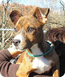 Terrier (Unknown Type, Medium)/Hound (Unknown Type) Mix Puppy for adoption in Reeds Spring, Missouri - Nova