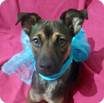 Shepherd (Unknown Type)/Terrier (Unknown Type, Medium) Mix Puppy for adoption in Corona, California - SHASTA