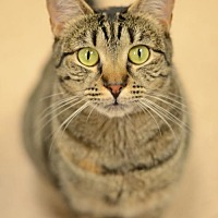 Domestic Shorthair Cat for adoption in Atlanta, Georgia - Bridgette 161441