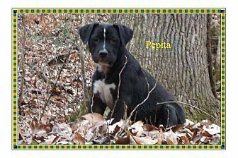 Labrador Retriever/American Staffordshire Terrier Mix Puppy for adoption in Colmar, Pennsylvania - Pepita
